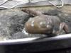 ambystoma_tigrinum-tiger_salamander03