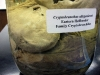 cryptobranchus_allegeniensis01