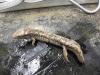 desmognathus_fuscus_fuscus-northern_dusky_salamander01