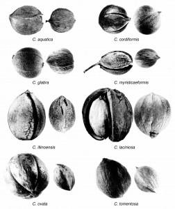 Carya nuts